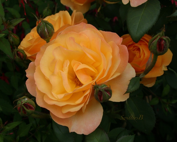 backyard beauty-Rose-SwittersB