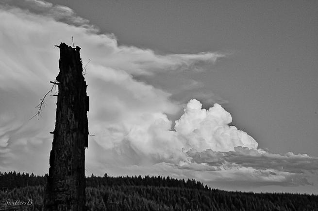 Cascades-old snag-Oregon-SwittersB