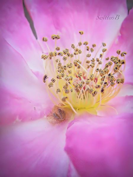 stamens, rose, dancing, SwittersB