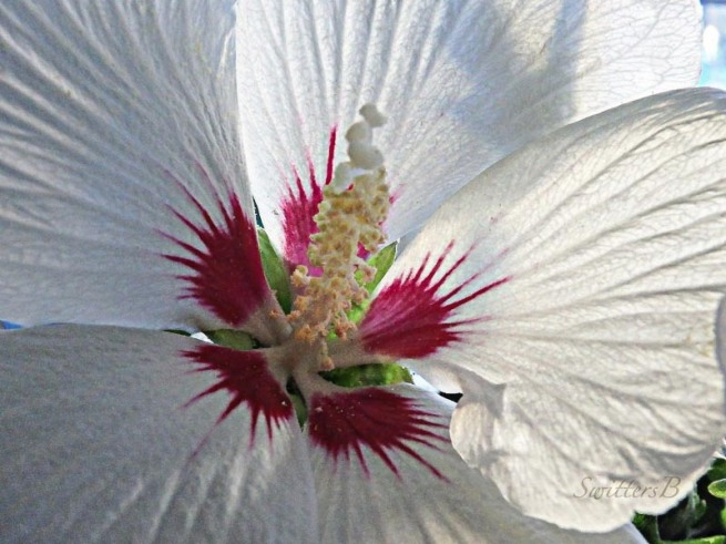 hibiscus, Oregon, garden, flower, SwittersB