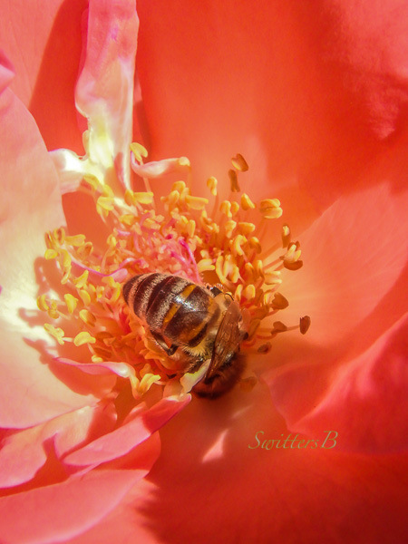 honey bee, flower, rose, SwittersB