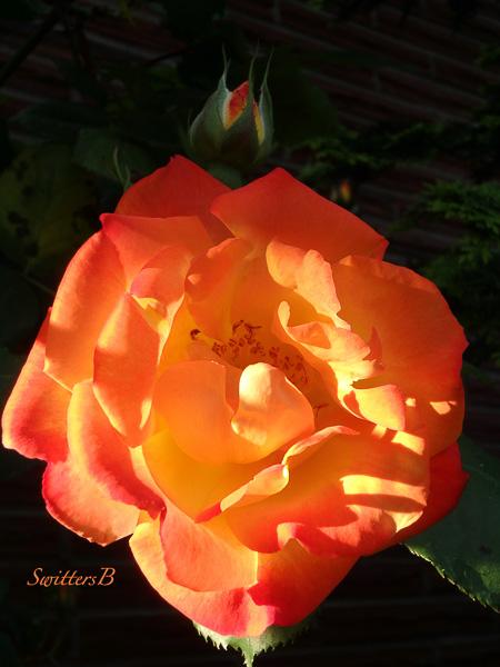 Joseph's Coat-rose-Portland-SwittersB