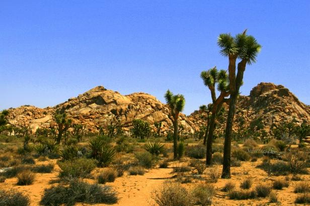 joshua tree-desert garden-SwittersB