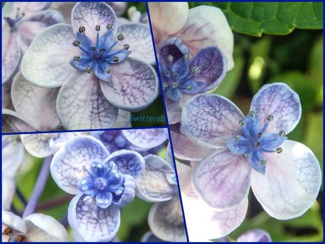 Lacecap Hydrangea Flowers-Collage-SwittersB