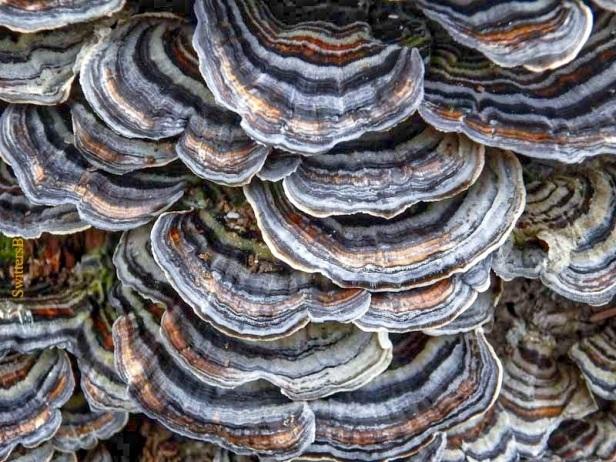 bracket fungus-tree stump-Salmon River-SwittersB
