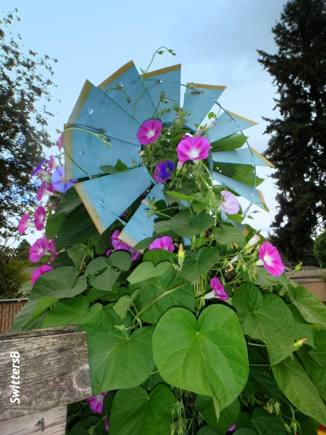 garden-windmill-morning glory-SwittersB