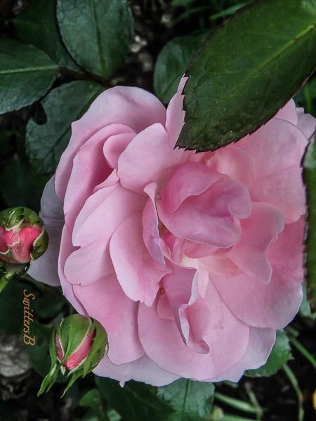 pink rose, Portland, Oregon, SwittersB