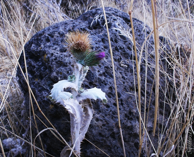 thistle, bloom, boulder, Deschutes R., SwittersB