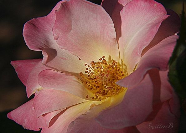 wild rose-garden-evening-SwittersB