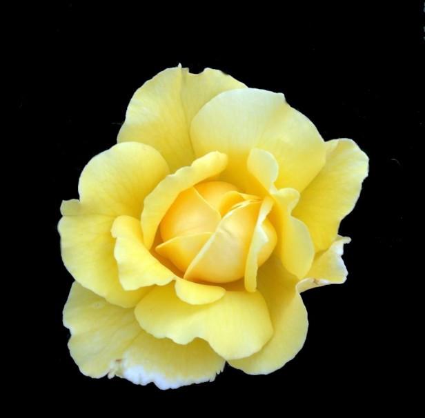 yellow rose-black backgrd-SwittersB2AAA