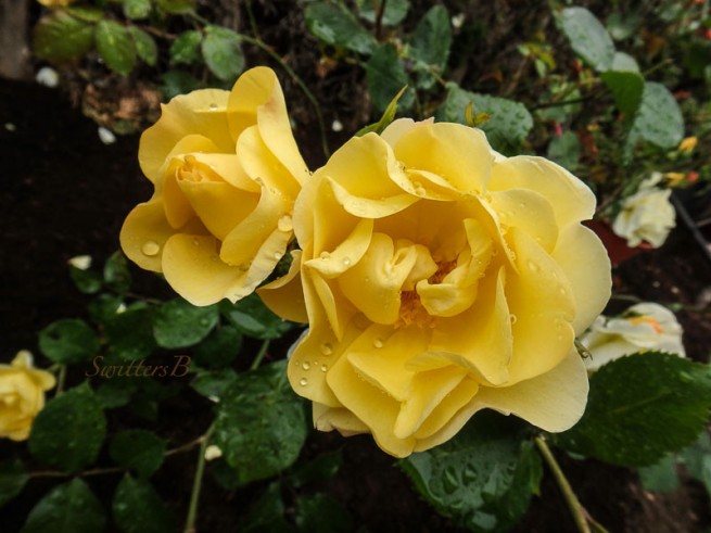 yellow roses, rain drops, garden, SwittersB