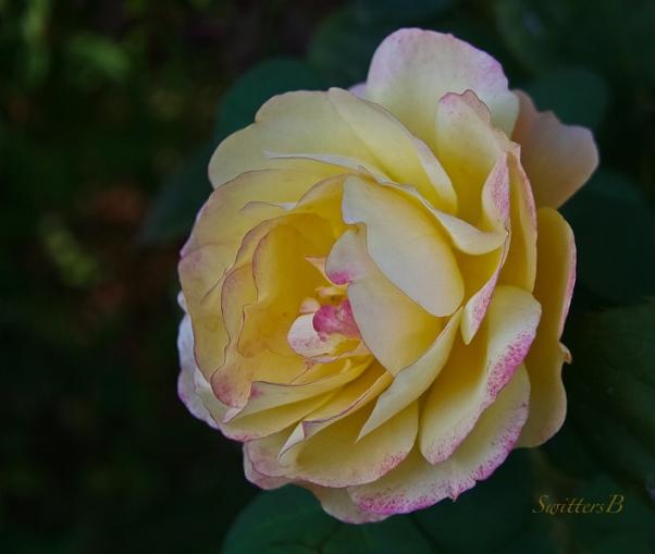 last blush-rose-swittersb