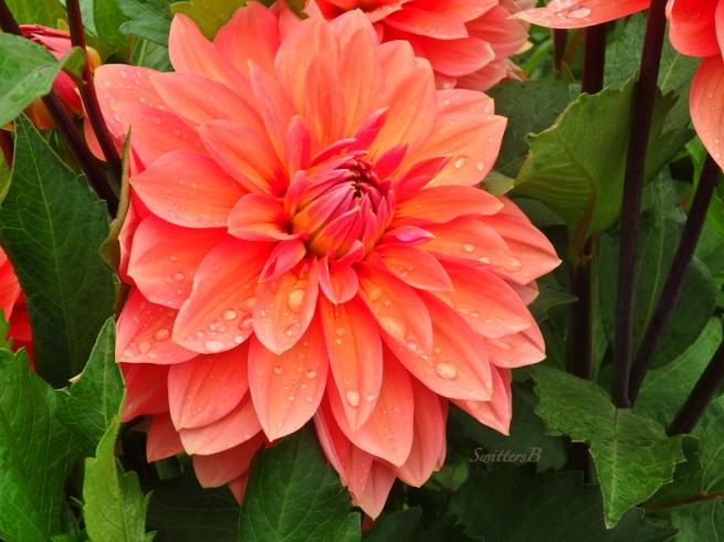 Dahlia-garden-Portland-Nicholas-SwittersB