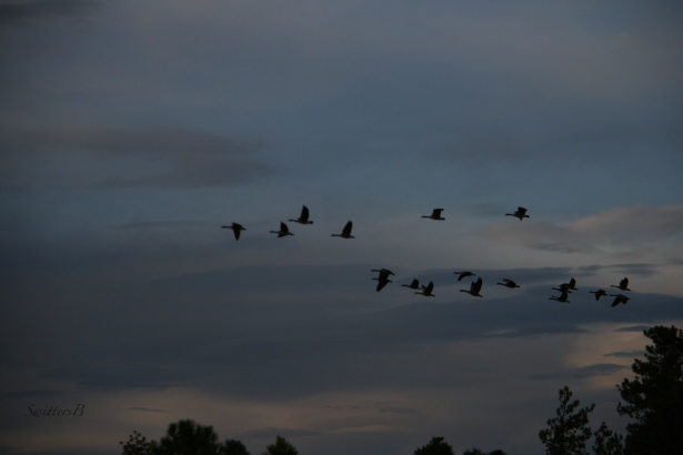geese-oregon-southbound-swittersb