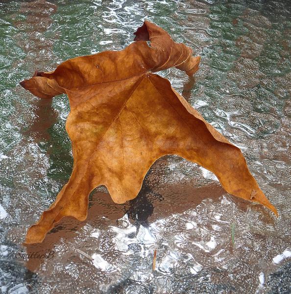 maple leaf-Oregon Coast-SwittersB