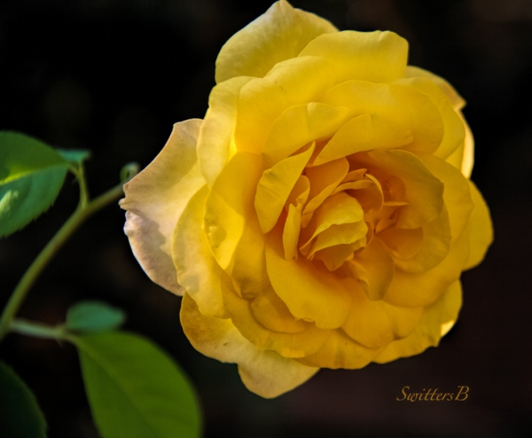 morning-delight-roses-swittersb