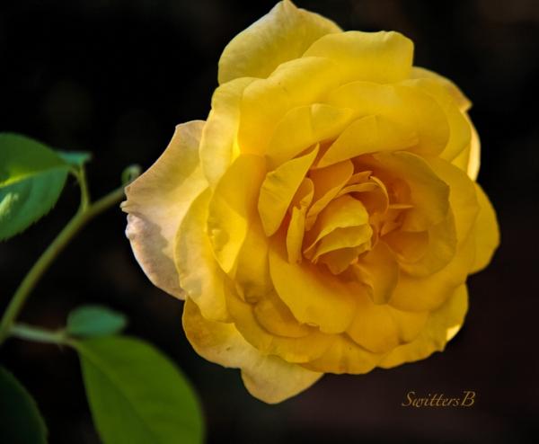 morning-delight-roses-swittersb
