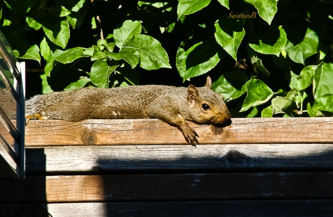 squirrel-basking-sunshine-fence-swittersb