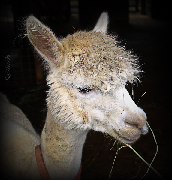 alpaca-shorn-farm-swittersb