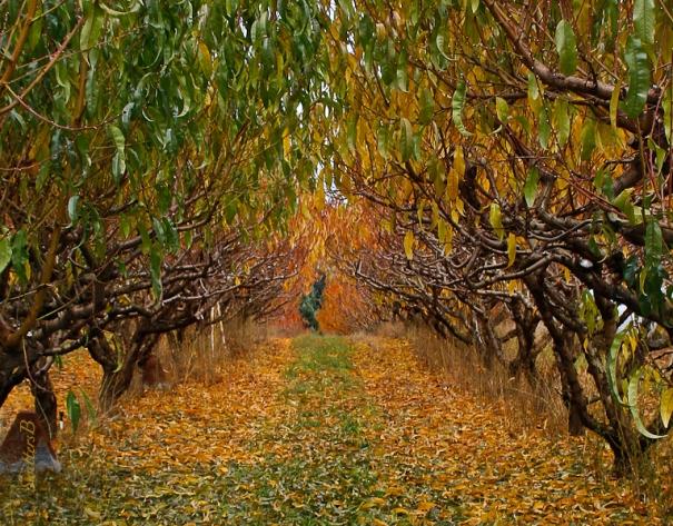 between-the-rows-hood-river-fruit-swittersb
