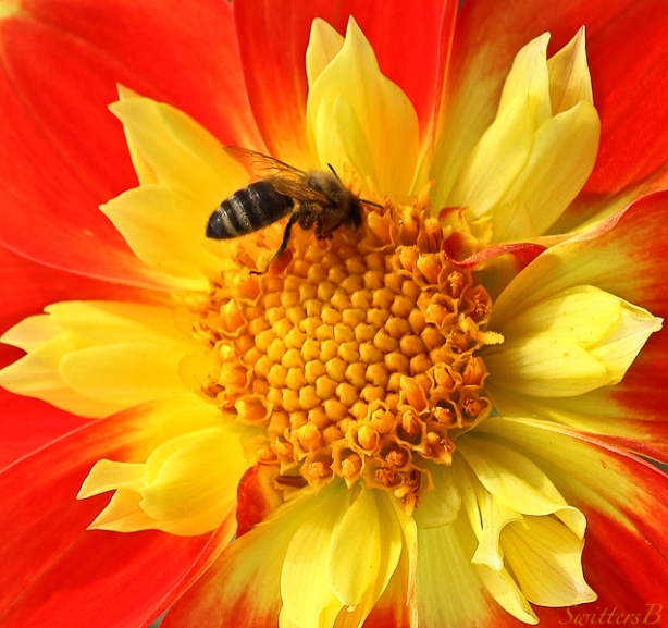 dahlia-bee-flower-swittersb