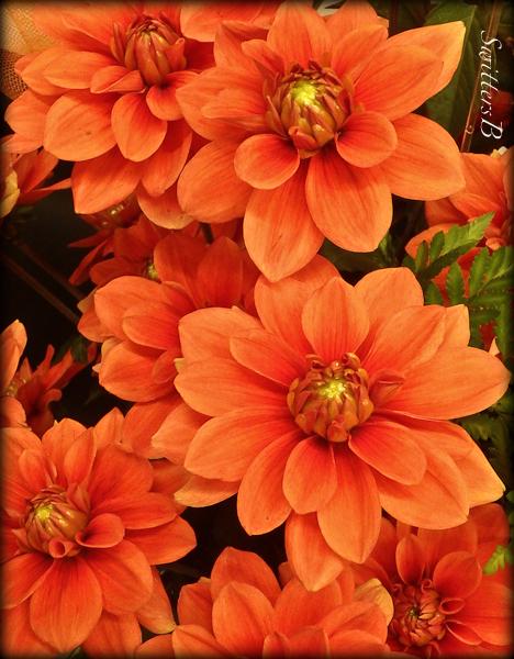dahlias, garden, Oregon, SwittersB