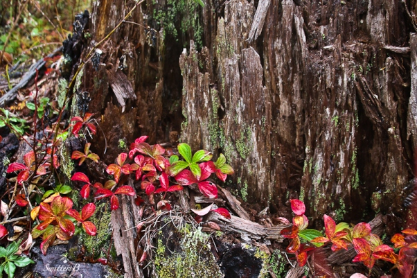red-foliage-old-stump-swittersb