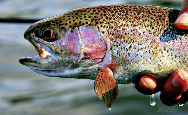trout-rainbow-colors-swittersb-bucky
