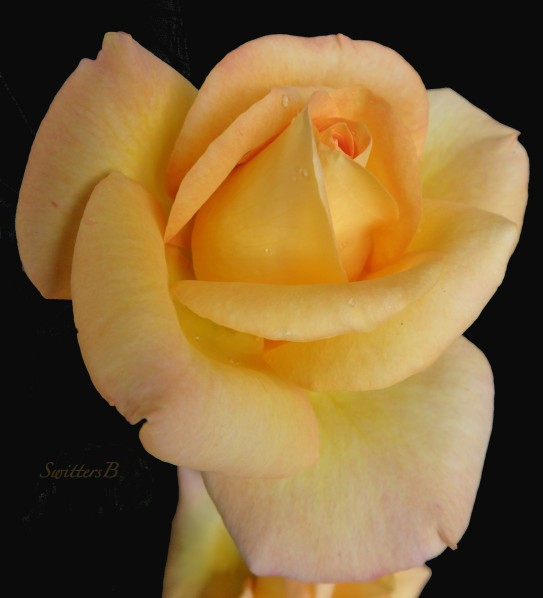 yellow rose-Fall-SwittersB