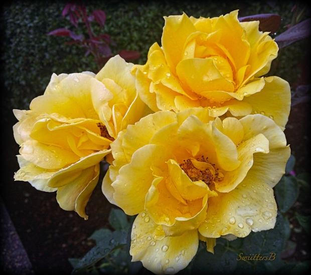 yellow-roses-beautiful-cluster-swittersb-garden