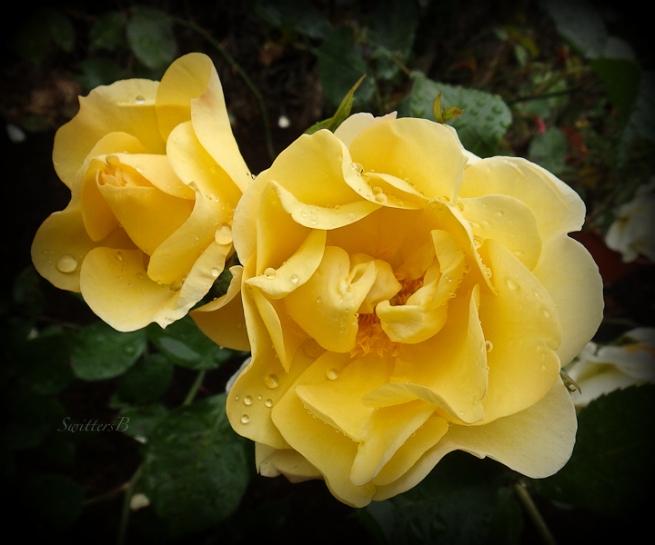 raindrops, roses, garden, SwittersB