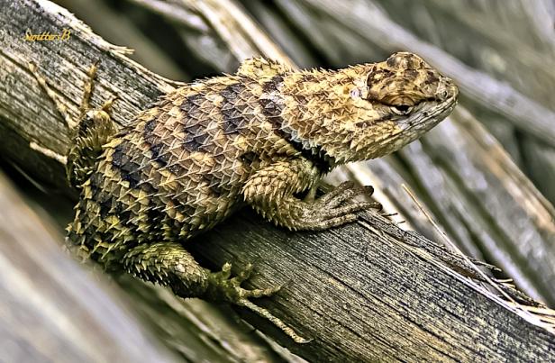 a-spiny-lizard-desert-mojave-swittersb-edit