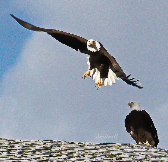 eagles-pair-oregon-swittersb