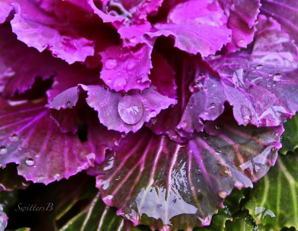 cabbage-water-drops-winter-swittersb