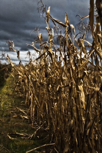 cornstalks-sauvie-island-fall-swittersb