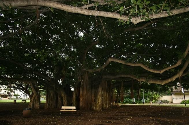hawaii-oahu-tree-swittersb