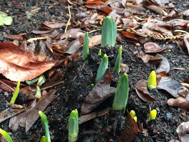 daffodils-emerge-1-21-17-swittersb
