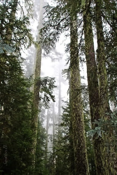 tall-trees-cascades-oregon-swittersb-2