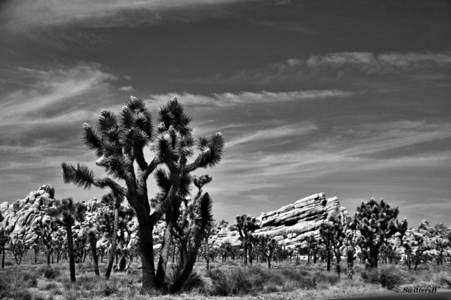 desert-joshua-tree-swittersb