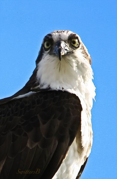 hawk-sauvie-island-swittersb