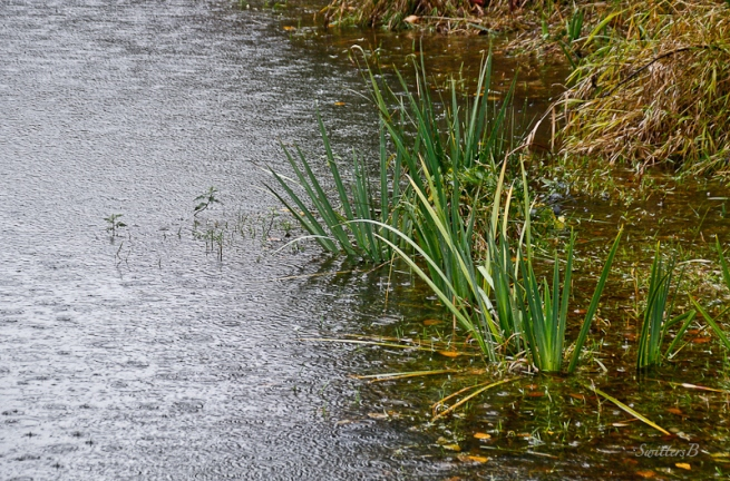 raindrops-slough-grass-swittersb