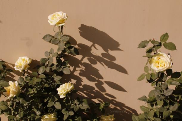 rose-shadow-winter-swittersb