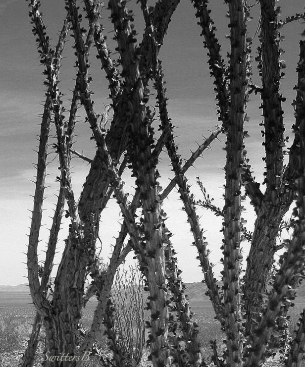 cactus-mojave-desert-SwittersB.jpg