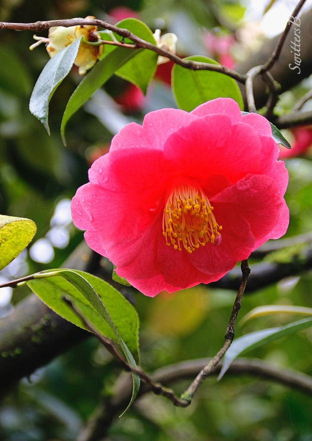 camellia flower-chinese garden-portland-SwittersB