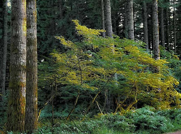 forest-photography-vine maple-Oregon-SwittersB