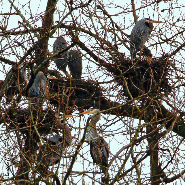Heron-Rookery-Sauvie Island-SwittersB