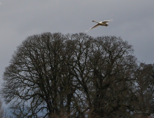 snow goose-oak trees-Sauvie Is.-SwittersB