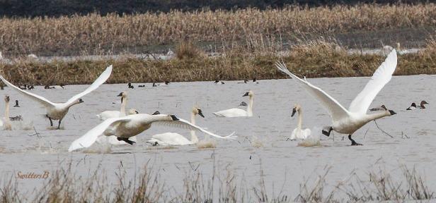 tundra swans-lift off-Sauvie Island-SwittersB