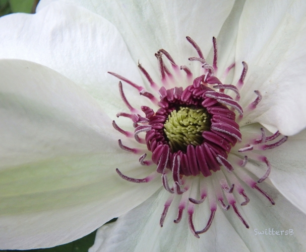 Clematis-backyard-Spring-SwittersB