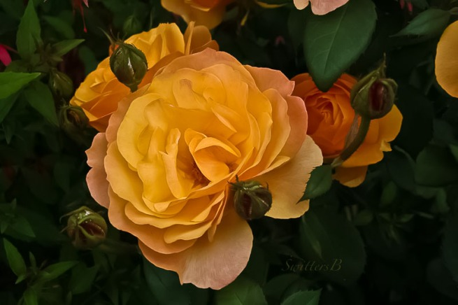 yellow roses, bud, SwittersB-2